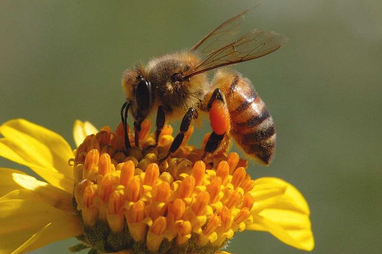 x853px 73 79 KB Honey Bee