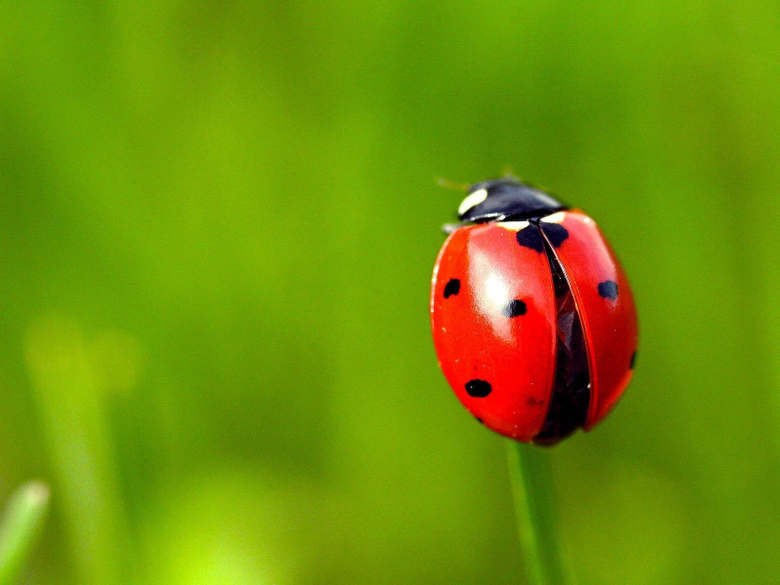 Wallpapers Red ladybug grass green backgrounds 1920x1200 HD Picture