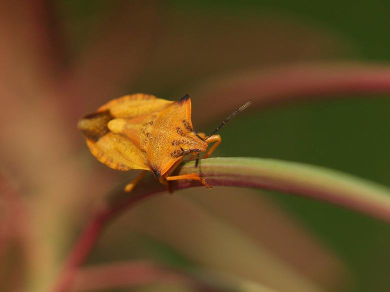 Carpocoris fuscispinus shield bug HD Wallpapers