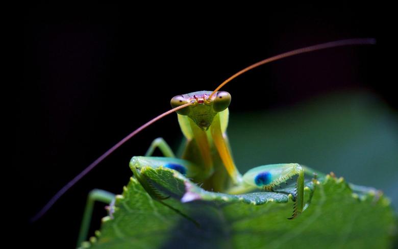 Praying Mantis Face Wallpapers HD Wallpapers