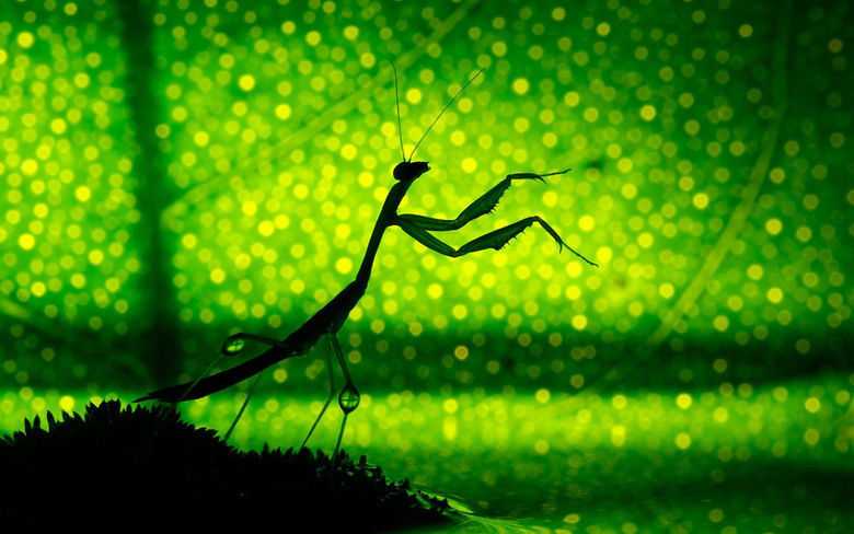 Praying Mantis Full HD Wallpapers and Backgrounds Image