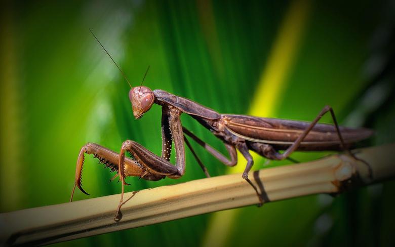 Praying Mantis HD Wallpapers