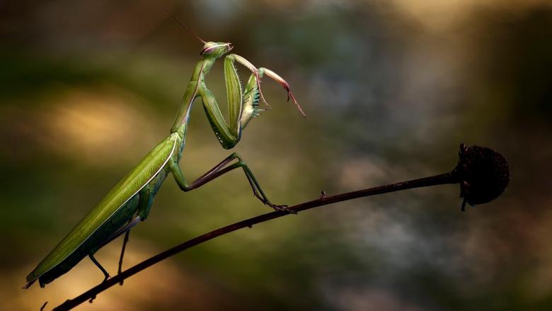 Praying Mantis Wallpapers
