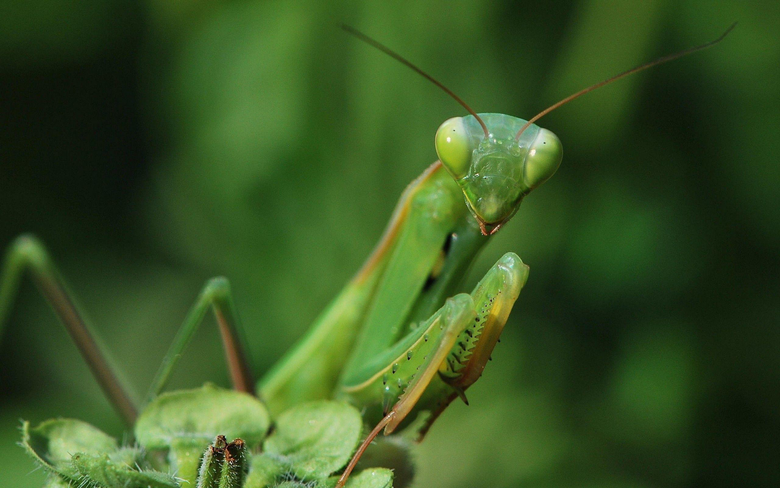 Insects praying mantis wallpapers