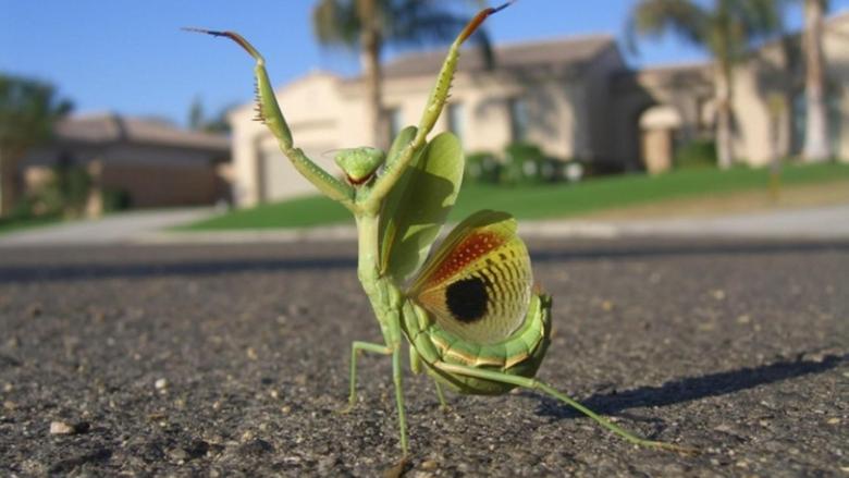 Mantis Animals HD Wallpapers Desktop Backgrounds Mobile Wallpapers