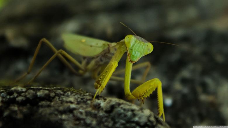 Praying Mantis Nature 4K HD Desktop Wallpapers for 4K Ultra HD TV