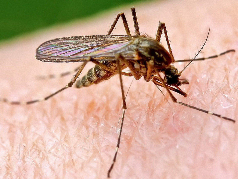 Mosquito HD Wallpapers