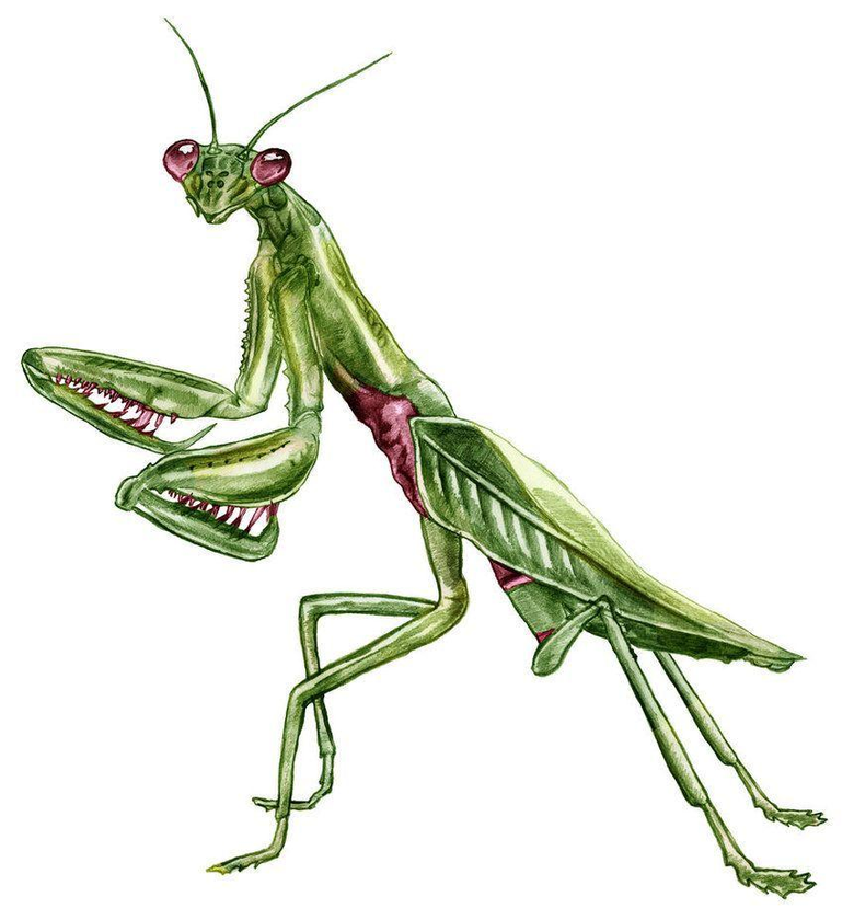 Praying Mantis Drawing