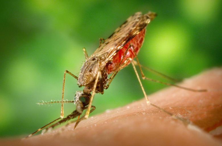 mosquito malaria wallpapers