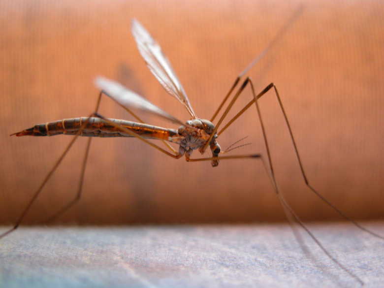 Mosquitoes Insect Image