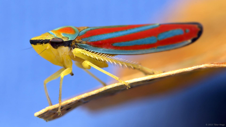 Macro photography of red blue and brown treehopper