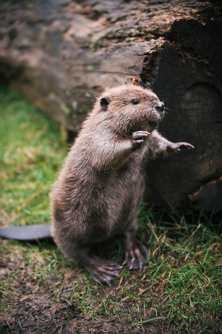 Best 38 Beavers Wallpapers on HipWallpapers
