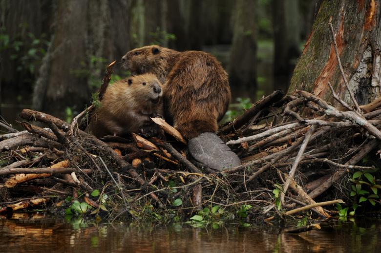 beaver Rodent Castor Wallpapers HD Desktop and Mobile