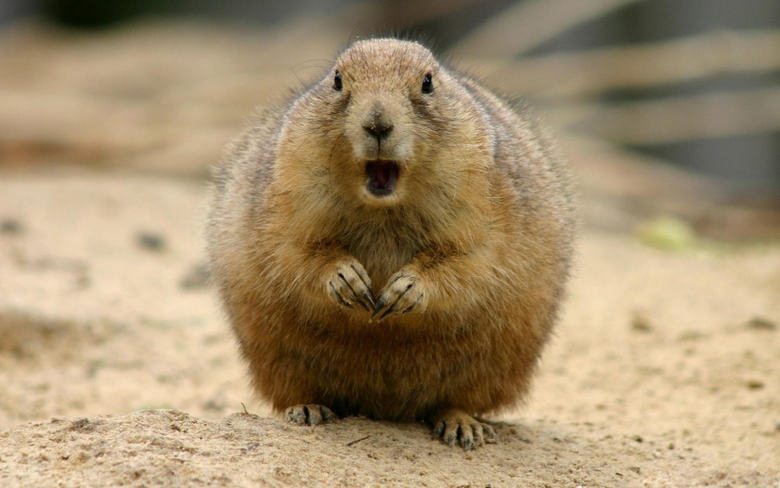 Beaver Wallpapers and Backgrounds Image