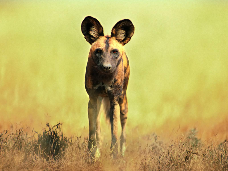 African Wild Dog Wallpaper HD Backgrounds
