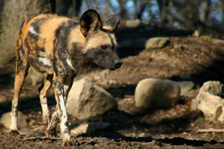 Wild Dog Wallpapers