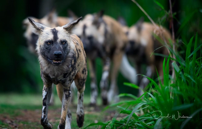 Wallpapers nature animals African Wild Dogs image for