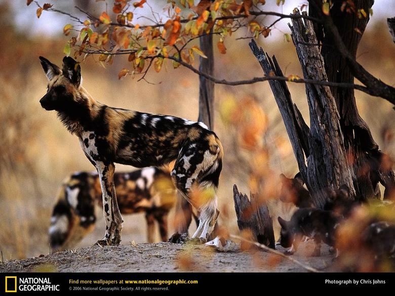 African Wild Dog Picture African Wild Dog Desktop Wallpaper