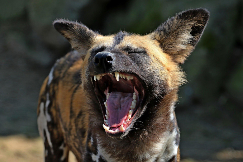 African wild Dog African hunting dog or Painted Wolf HD