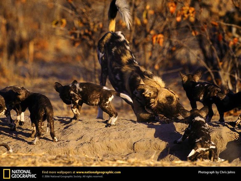 African Wild Dog Picture African Wild Dog