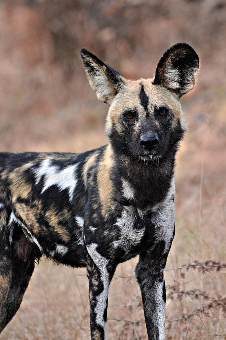 Wildlife of the World African Wild Dog Wallpapers 2012