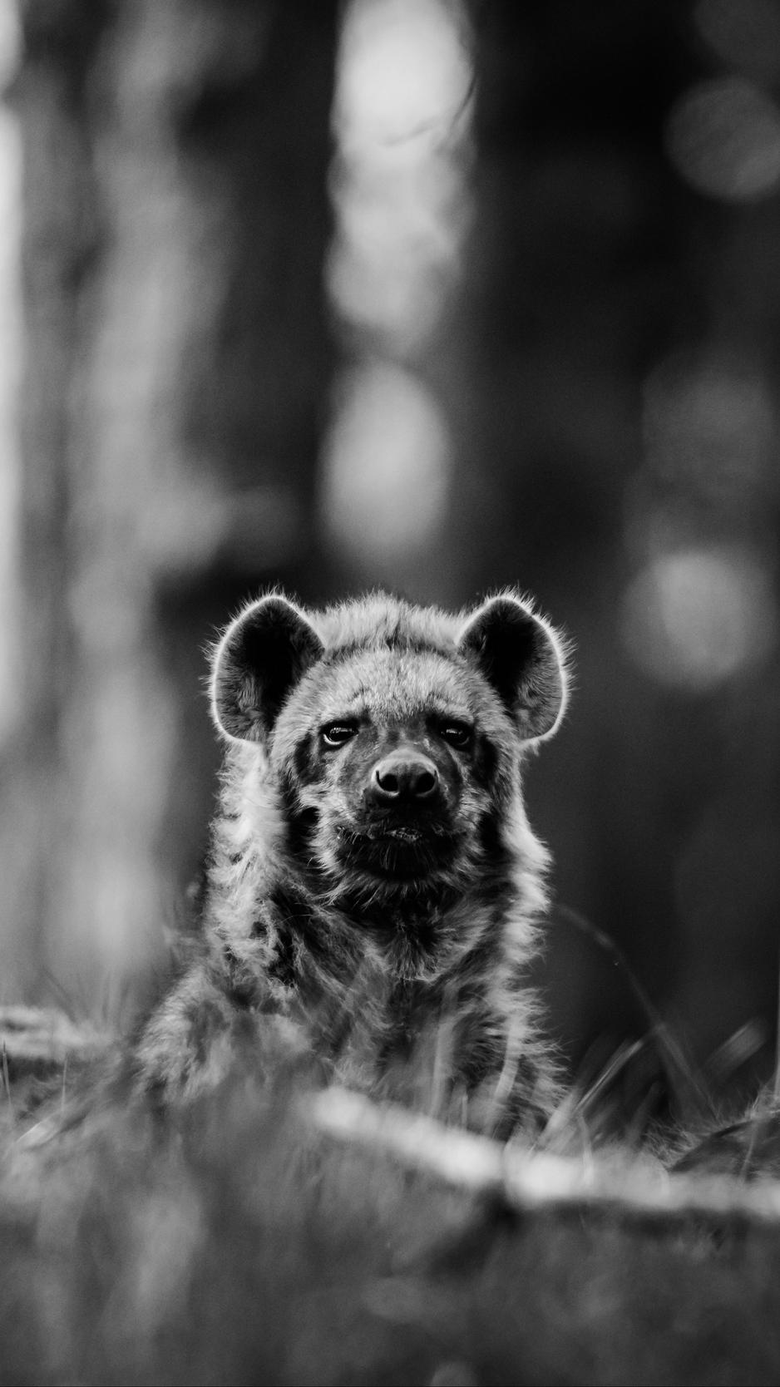 wallpapers 938x1668 african wild dog bw wildlife