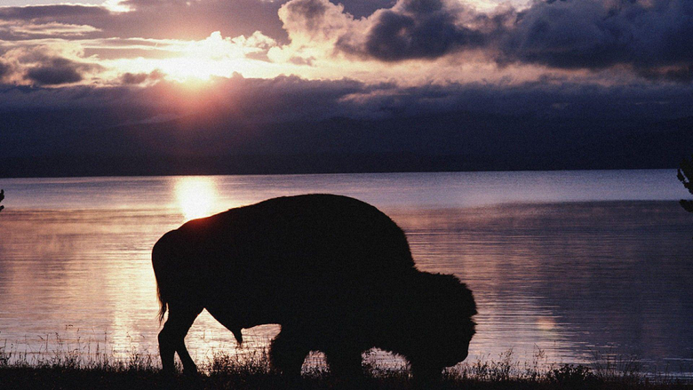 Sun bison wallpapers
