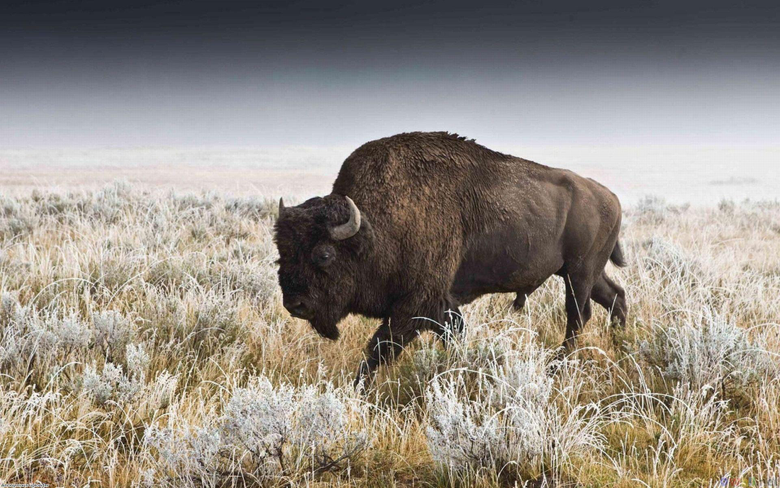 Pix For American Bison Wallpapers