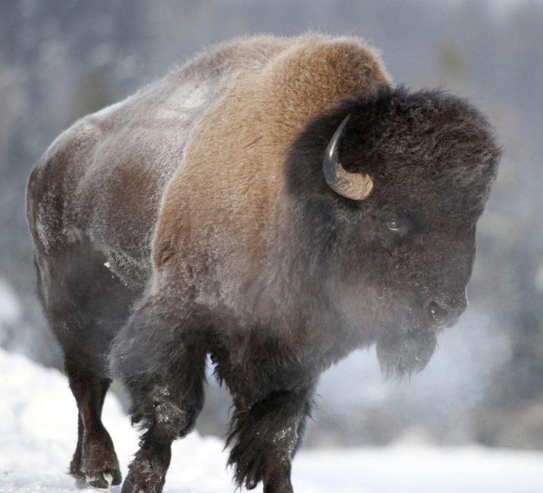 Wild Bison New HD Wallpapers 2013