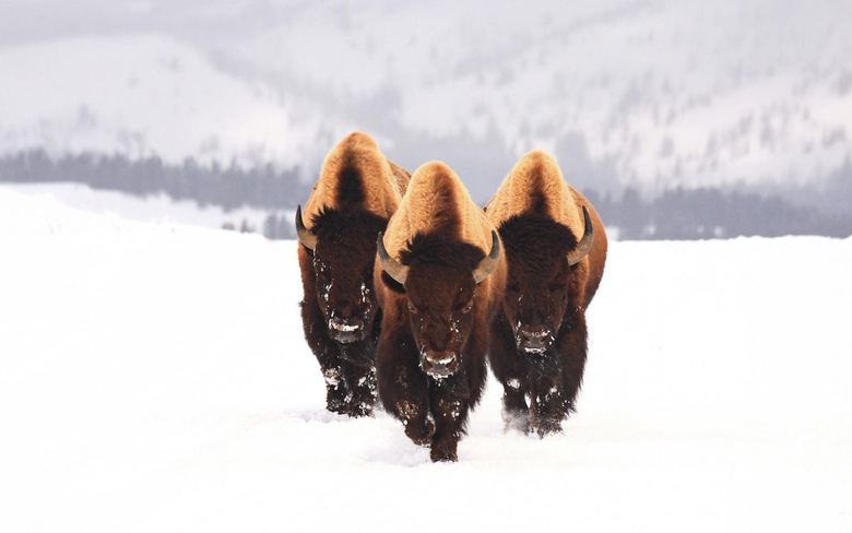 Image For American Bison Wallpapers