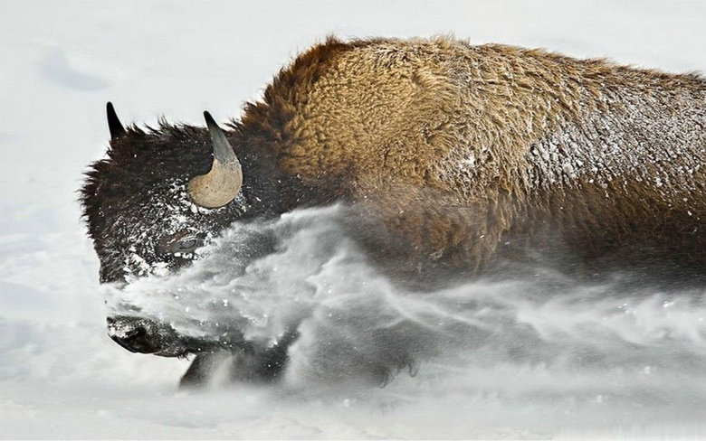 Buffaloes High Definitions Wallpapers picture