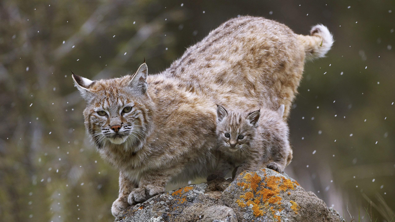 Bobcat Wallpapers Group with 27 items