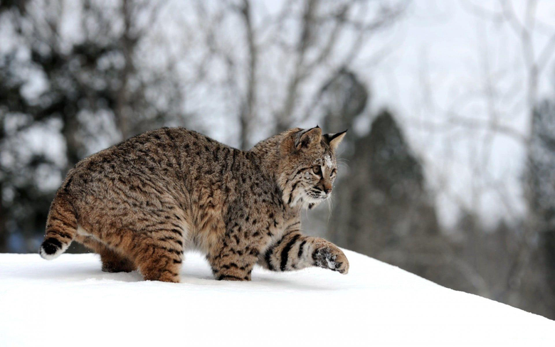 Bobcat on snow HD wallpapers
