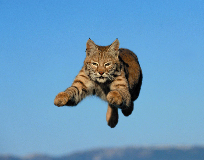 Bobcat wallpapers Animal HQ Bobcat pictures