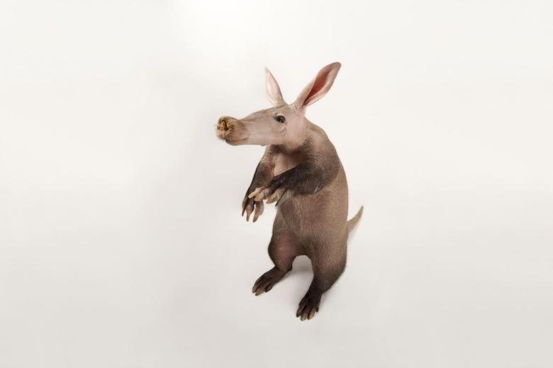 Aardvark Wallpaper Backgrounds