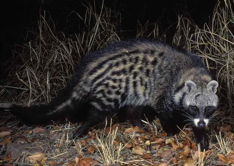 African Civet Cat Wallpapers High Quality