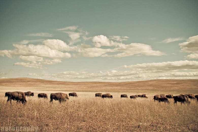 Buffalo Wallpapers 0 22 Mb