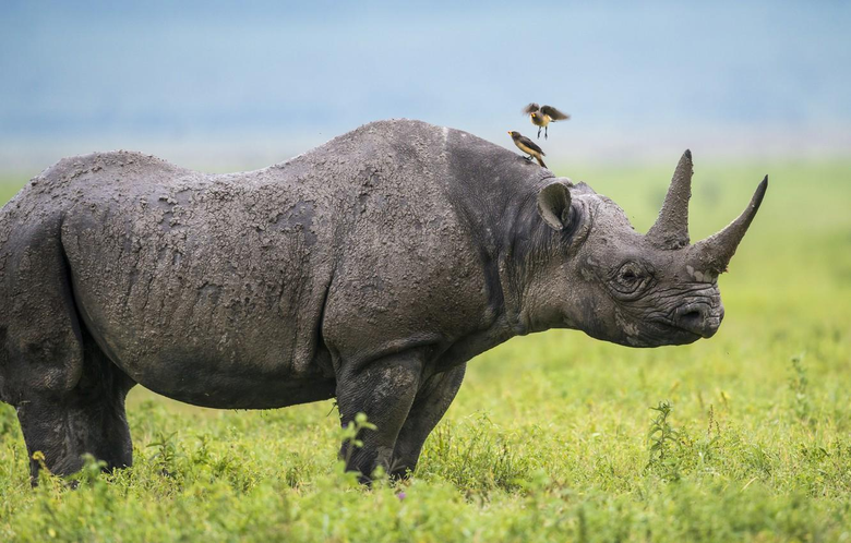 Wallpapers birds Africa Rhino image for desktop section
