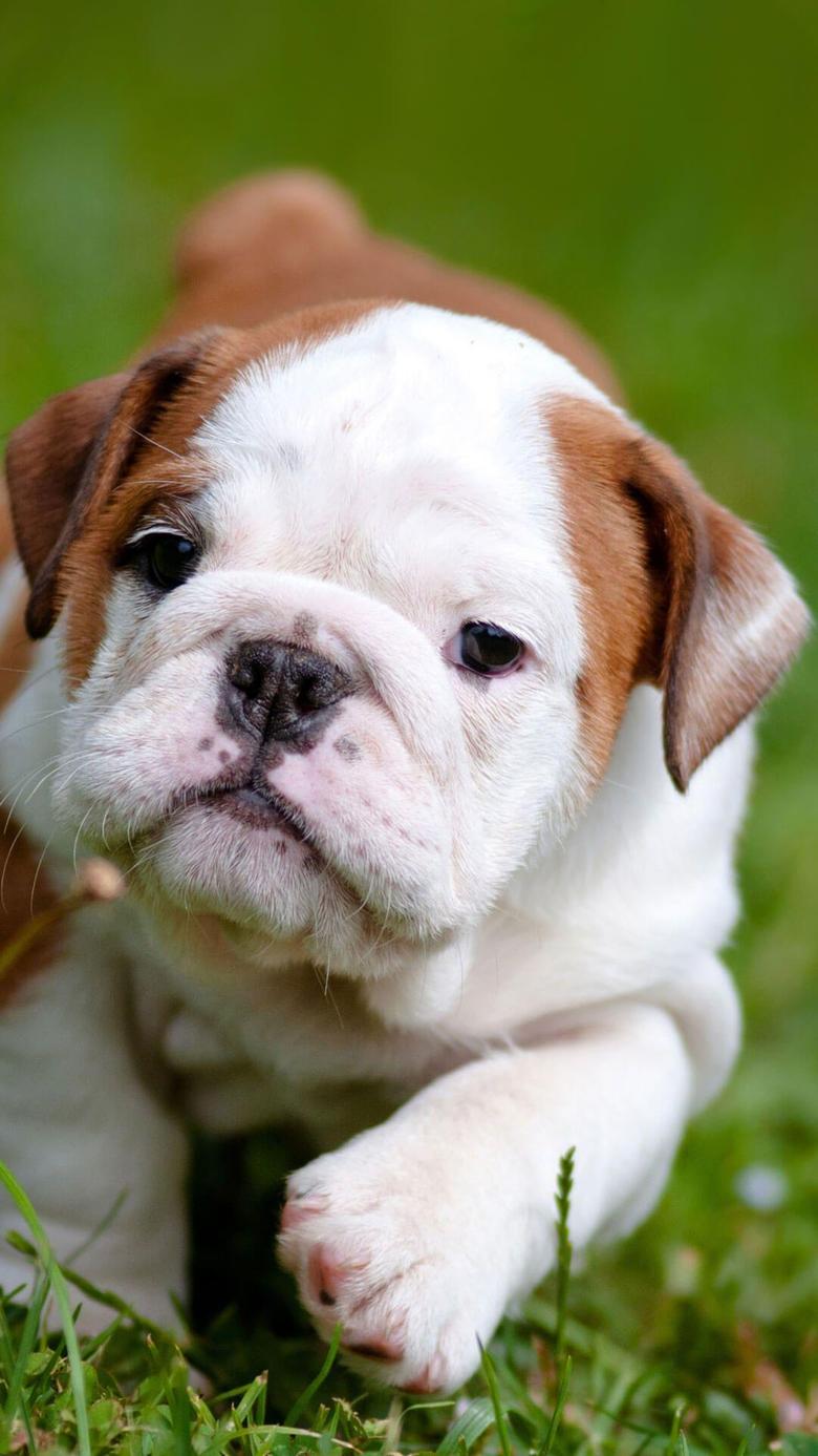 Cute English Bulldog Puppies iPhone Wallpapers HD