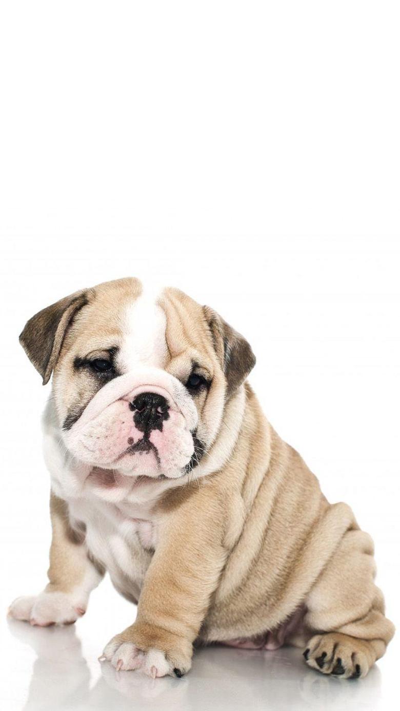 British Bulldog 1 iPhone 6 Wallpapers