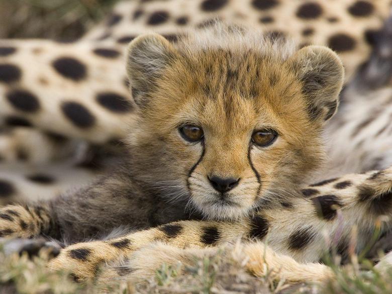 Face Cute Cheetah Wallpapers Wallpapers