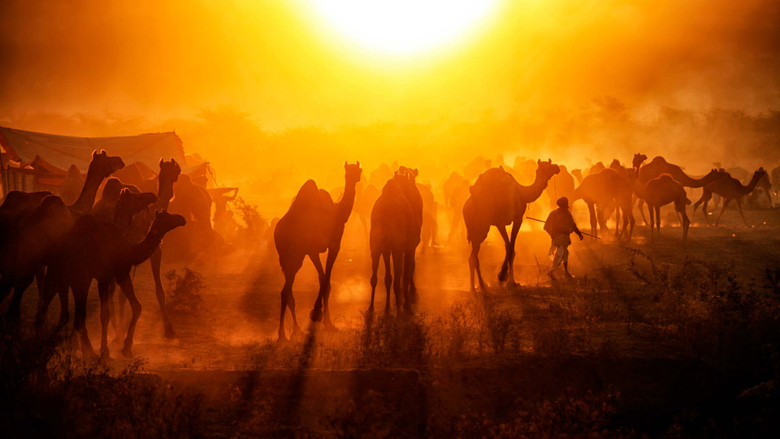 Pushkar Camels Bing Wallpapers