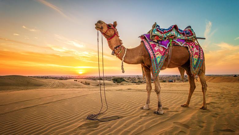 Desktop Wallpapers Camels Desert Sand sunrise and sunset