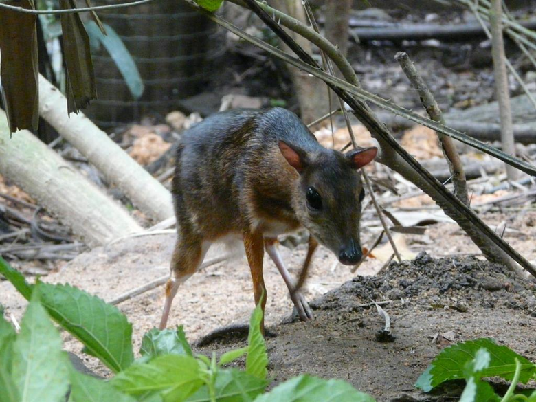 Chevrotains and Mouse