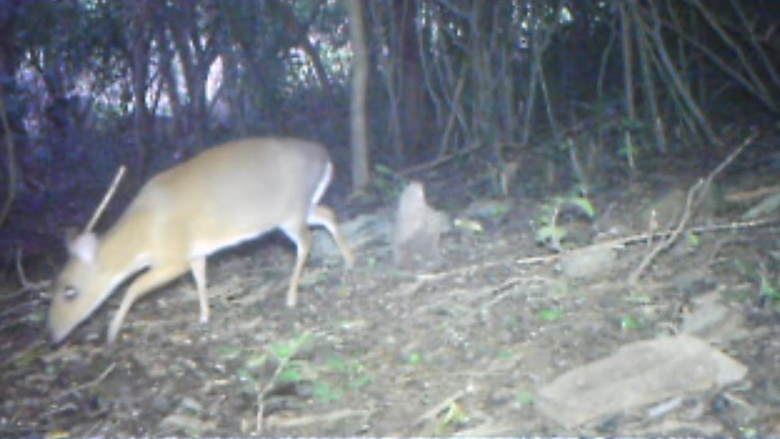 Extinct deer small enough to hold in one hand reappears in