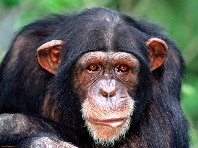 Chimpanzee Wallpapers 12