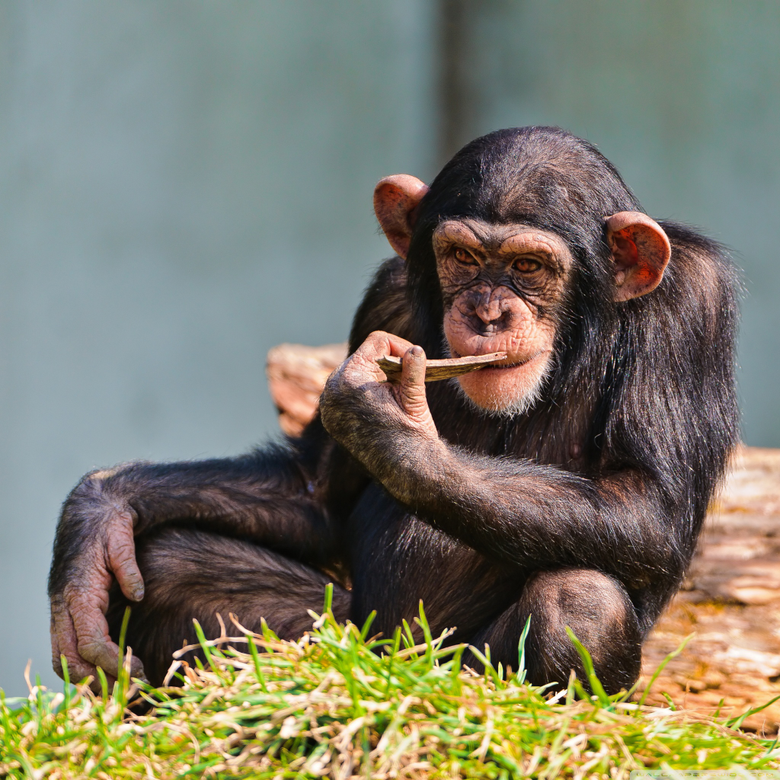Thinking Chimp 4K HD Desktop Wallpapers for 4K Ultra HD TV Dual