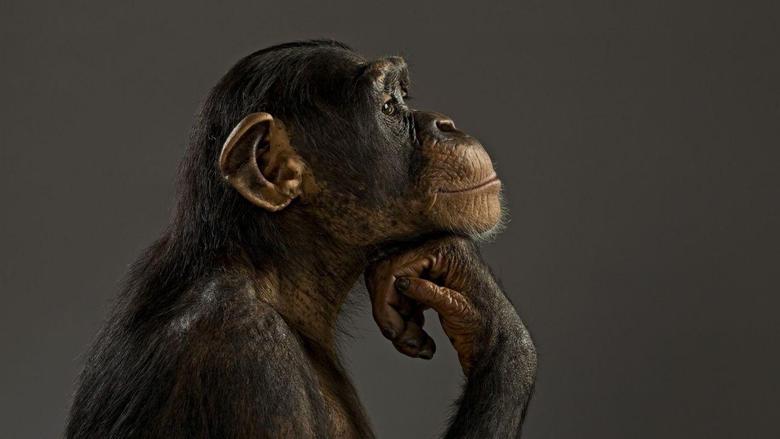 Monkey chimpanzee think wallpapers