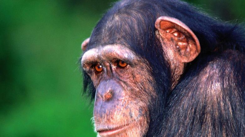 Sad monkey chimpanzee wallpapers and image
