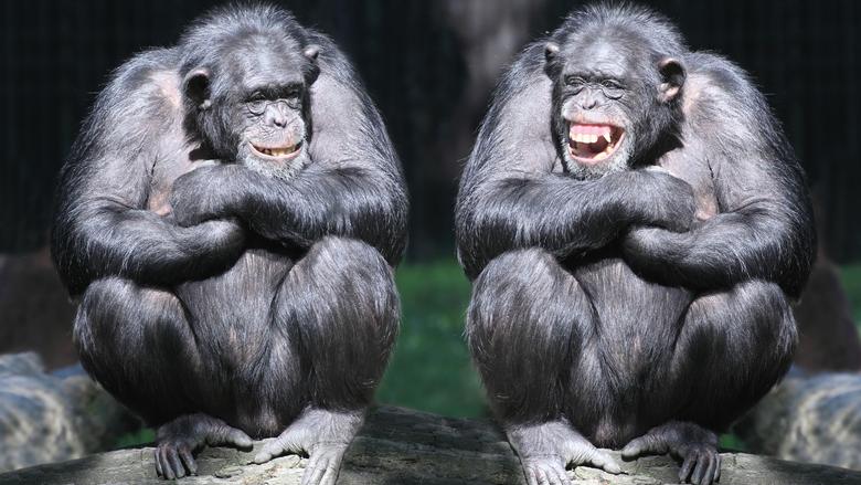 Wallpapers chimpanzee couple cute animals monkey funny Animals